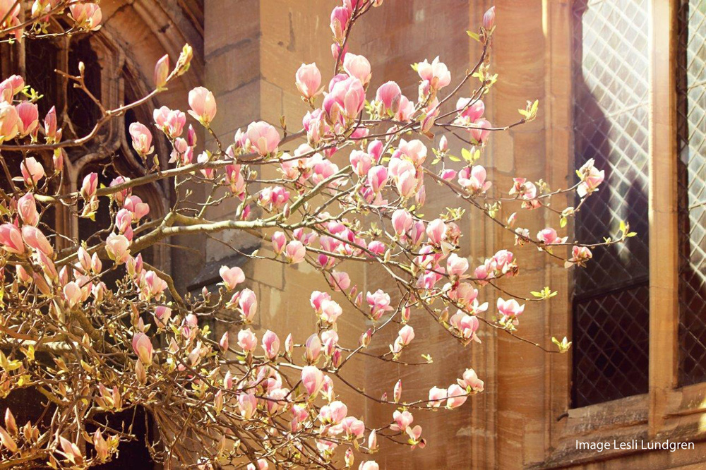 Magnolia blossoms outside the University Church, High Street