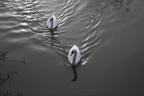 Swans on the river in Oxford