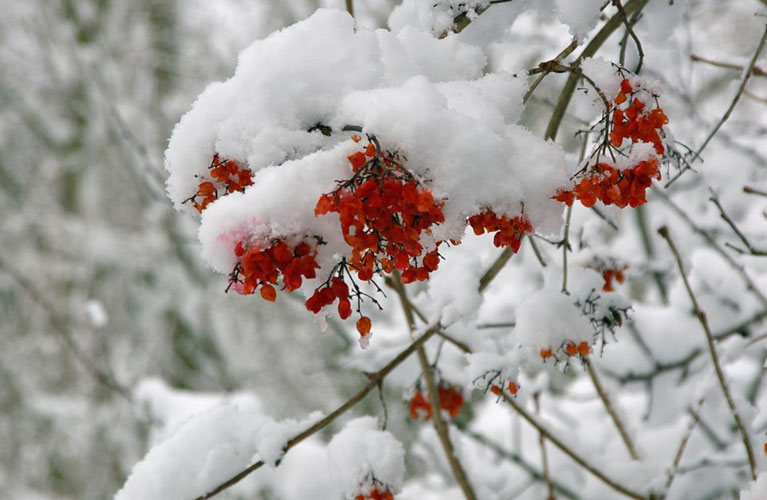 Flowers (or perhaps berries?) under the snow