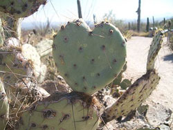 cactus heart - this image courtesy of wikimedia commons
