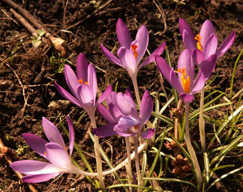 Crocuses in Headington Hill Park